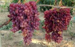 Виноград кишмиш Велес (Загорулько В.В.) – описание и фото сорта
