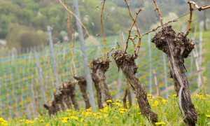 Открываем виноград весной. Когда раскрыть и чем обработать кусты