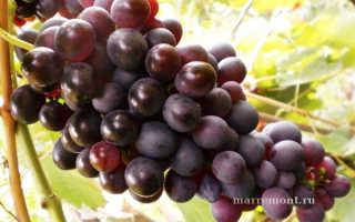 Виноград Шоколадный (Марадона, ПГ-12) – описание и фото сорта