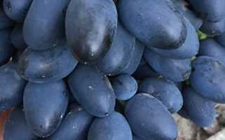 Виноград Надежда АЗОС – описание и фото сорта
