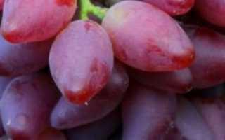 Виноград Дубовский красный – описание и фото сорта