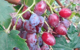 Виноград Казанова (Шульги А.И.) – описание и фото сорта