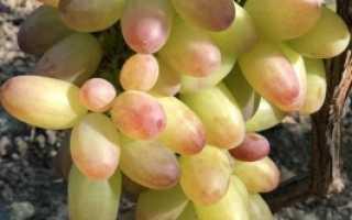 Виноград Роза Раняя (Писанка О.М.) – описание и фото сорта