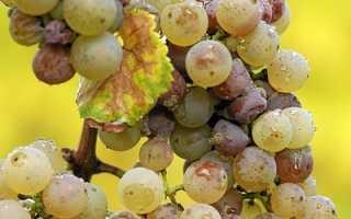 Антракноз винограда: фото, описание, борьба с болезнью (лечение)