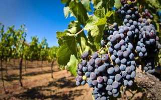 Нагрузка и урожайность винограда