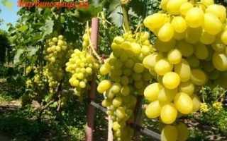 Виноград Виктория (Вива Айка) – описание и фото сорта