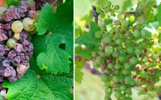 Неинфекционные болезни винограда – элементозы