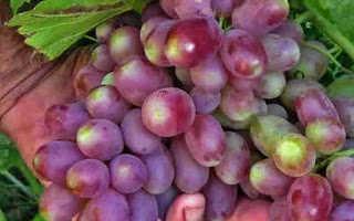 Виноград Андрюша (Балабанова А.Ф.) – описание и фото сорта