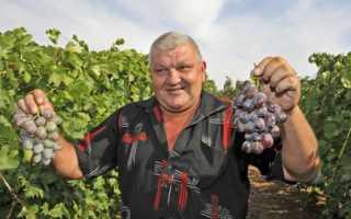 Виноград Акелло (селекции Гусева С.Э.) – описание и фото сорта