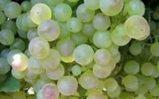 Кишмиш Сатурн (Saturn seedless) – описание сорта винограда