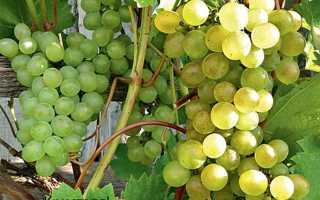 Технический сорт винограда Кристалл – описание и фото