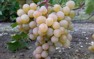 Виноград Краса Дона – описание и фото сорта