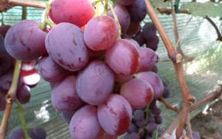 Виноград Эверест селекции Павловского Е.Г. – описание и фото сорта