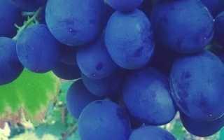 Виноград Руслан (Загорулько В.В.) – описание и фото сорта