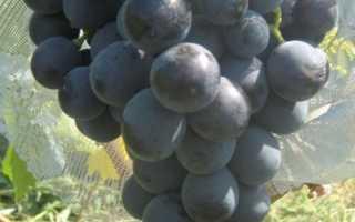 Виноград Гузаль Кара – описание и фото сорта