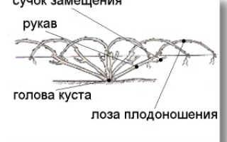 Веерная формировка винограда и обрезка куста