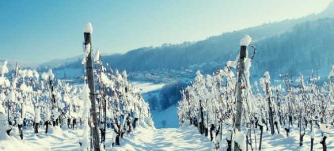 Укрытие винограда на зиму. Способы, сроки, подготовка лозы