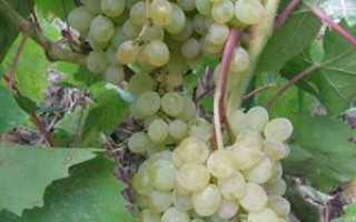Виноград Русбол улучшенный (Эльф) – описание и фото сорта