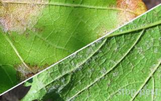 Фунгицид Акробат Топ для защиты винограда от милдью