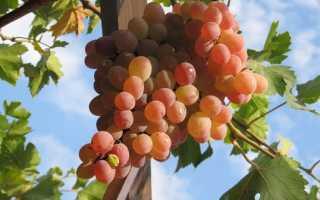 Виноград Тайфи розовый – описание и фото сорта