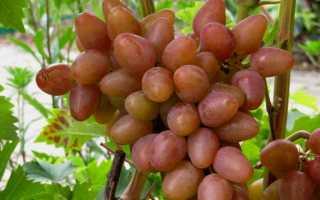 Виноград Аладдин – описание и фото сорта