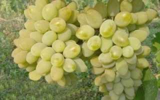 Виноград Розовый Тимур – описание и фото сорта