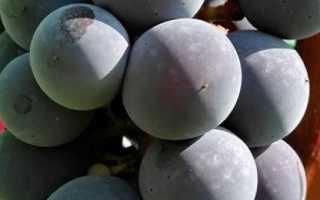 Виноград Зилга (Латвия) – описание и фото сорта