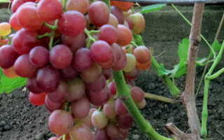 РР 101-14 – подвой винограда. Описание и морфологические признаки