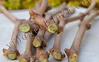 Посадка винограда длинной лозой осенью