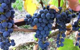 Виноград Осенний Черный – описание и фото сорта