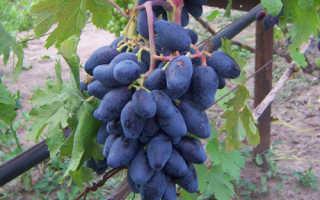 Виноград Ромбик (Павовского Е.Г.) – описание и фото сорта