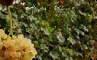 Виноград Найден (V8-2) – описание и фото сорта