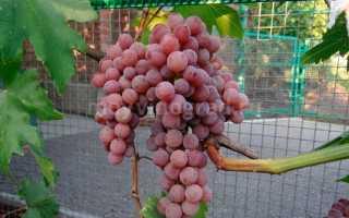Виноград Султанина (Томпсон сидлис, Кишмиш белый овальный) – описание