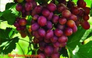 Виноград Малиновая Заря (Криуля С.И.) – описание и фото сорта