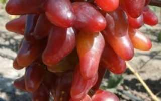 Виноград Оскар (Карпушева А.В.) – фото, видео и описание сорта