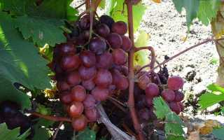 Виноград Сенатор (Бурдака А.В.) – описание и фото сорта