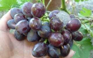 Виноград Тюльпан (Павловского Е.Г.) – фото, видео, описание сорта