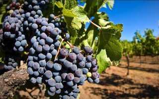 Заработок на любительском виноградарстве