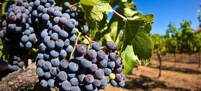 Виноградные питомники и выращивание ягоды на продажу