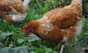 Куриный (птичий) помет для подкормок и удобрения винограда