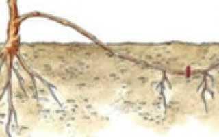 Отводки винограда – способ вегетативного размножения лоз