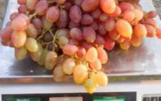 Виноград Рута (Загорулько В.В.) – описание и фото сорта
