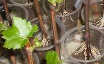 Выращивание винограда из черенков зимой на подоконнике