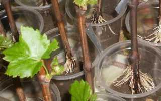 Размножение винограда. Надежные способы для начинающих