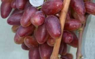Виноград Полонез-50 (Писанка О.М.) – описание и фото сорта