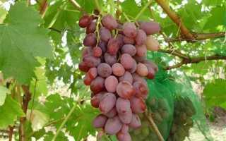 Виноград Водограй (Загорулько В.В.) – описание, фото и видео сорта