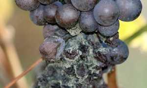 Серая гниль винограда – описание, профилактика и борьба с болезнью