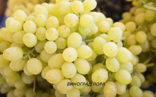 Виноград Sugar Crisp (кишмиш Хрустящий сахар) – фото и описание сорта