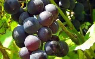 Виноград Ласточка (Павловского Е.Г.) – описание и фото сорта