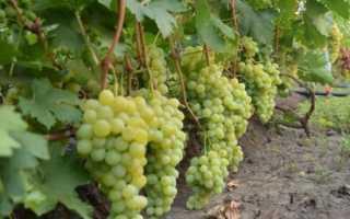 Виноград Ванюша (Крайнова В.Н.) – описание и фото сорта